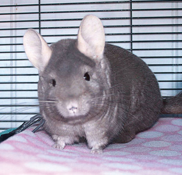 Sheldon the Chinchilla